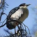 Black-crowned Night Heron (26546935295).jpg