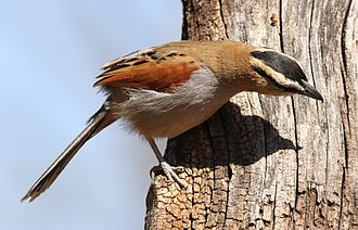Black-crowned tchagra - Adults have a solid black crown, bordered by buff superciliary stripes, but juveniles have a brownish crown.