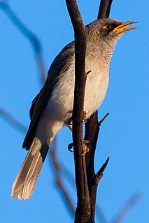 Black-eared miner species of bird