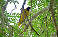Black-headed Oriole (Oriolus larvatus) (17352073841).jpg