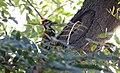 Black-rumped Flameback Dinopium benghalense (185048039).jpg
