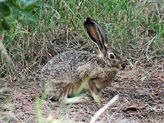 Black-tailed Jackrabbit - Flickr - GregTheBusker.jpg