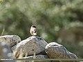 Black-throated Accentor (Prunella atrogularis) (38231004896).jpg