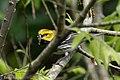 Black-throated Green Warbler (male) Sabine Woods TX 2018-04-22 09-22-47 (41092193585).jpg