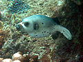 BlackSpotted PufferFishSept2006 colour adjusted.jpg
