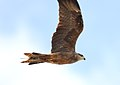 Black Kite (Milvus migrans) (30860519703).jpg