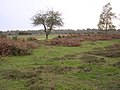 Black Knowl heath, New Forest - geograph.org.uk - 71617.jpg