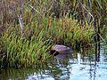 Black Point Wildlife Drive, Merritt Island FL - Flickr - Rusty Clark (163).jpg