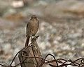 Black Redstart (Phoenicurus ochruros)- Female at Jayanti, Duars, WB W Picture 468.jpg