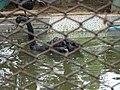 Black Swan (Cygnus atratus) in Nandankanan Zoo, India.jpg