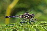 Black darter (Sympetrum danae) male.jpg