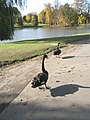 Black swans in an autumnal setting at Leeds Castle - geograph.org.uk - 1555731.jpg