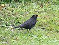 Blackbird Amsel Turdus merula.jpg