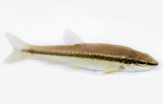 Eastern blacknose dace species of fish