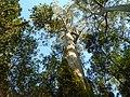 Blahovičník královský (Eucalyptus regnans).jpg