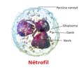 Blausen 0676 Neutrophil ku.png