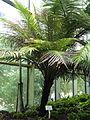 Blechnum gibbum - Palmengarten Frankfurt - DSC01874.JPG