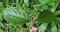 Blepharistemma serratum fruits 11.JPG