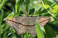 Blood-vein moth (Timandra comae).jpg