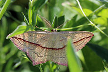 Blood-vein moth (Timandra comae).jpg
