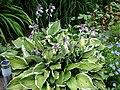 Blooming Hosta (2789110038).jpg