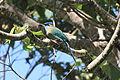 Blue-crowned Motmot (Momotus momota) (5771922059).jpg
