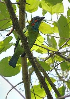 Blue-eared barbet species of bird