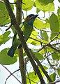 Blue-eared Barbet Manas National Park Assam India April 2019.jpg
