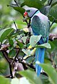 Blue-winged Parakeet (cropped).jpg