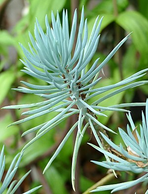 Senecio - Blue Chalksticks -- Senecio serpens