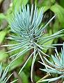 Blue Chalksticks -- Senecio.jpg