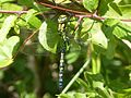 Blue Hawker Aeshna cyanea - Flickr - gailhampshire.jpg