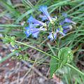 Blue Penstemon (15077903052).jpg