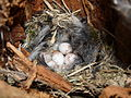 Blue Tit Nest 02-05-10 (4571245787).jpg