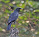 Blue Whistling Thrush (Myophonus caeruleus) at Jayanti, Duars, West Bengal W Picture 462.jpg