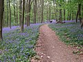 BluebellsWoodDoverenGermany2008.jpg