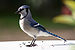 Blue Jay and Steller's Jay - Photo (c) Darren Swim, some rights reserved (CC BY-SA)