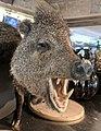 Boar at Calafia.jpg