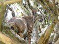 File:Bobcat (Lynx rufus) in Buckeye Tree.webm