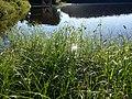 Bolboschoenus yagara sl4.jpg
