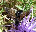 Bombyliidae - Flickr - gailhampshire (1).jpg