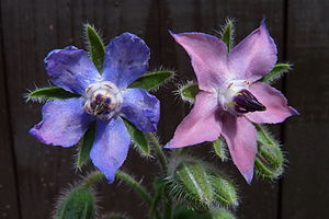 Borage - Two blossoms, the younger one is pink, the older blue