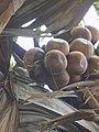 Borassus Aethiopum fruit.jpg