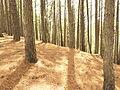 Bosque de Pinos en Cordero..JPG