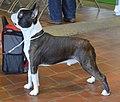 Boston Terrier DSC 0004 (16399046489).2.jpg