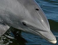 Bottlenose Dolphin KSC04pd0178 head only.JPG