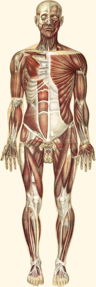 Muscular system - The human muscles, seen from the front. 19th century illustration.