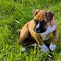 Boxer dog (2 months) (15514434417).jpg