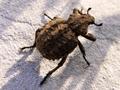 Brachycerusplicatus.png