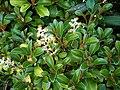 Brachyglottis elaeagnifolia 11.JPG